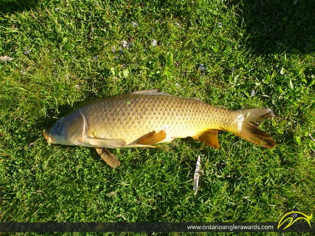 "30"" Carp caught on Rice Lake"