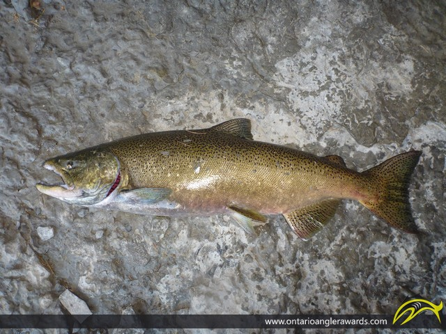 "36"" Chinook Salmon caught on Ganaraska River"