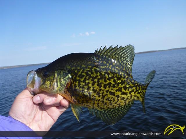 "12"" Black Crappie caught on Rice Lake"