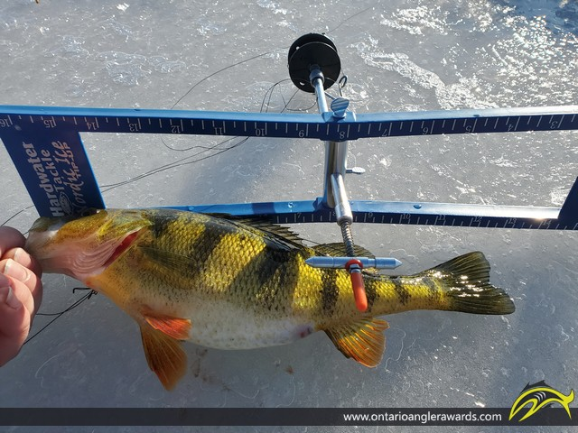 """12"""" Yellow Perch caught on Mississippi Lake"""