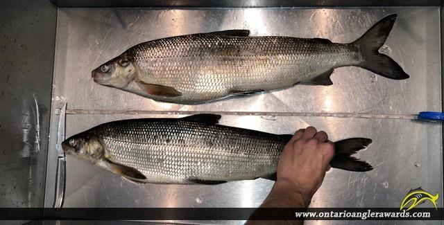 """24"""" Whitefish caught on Lake Simcoe"""