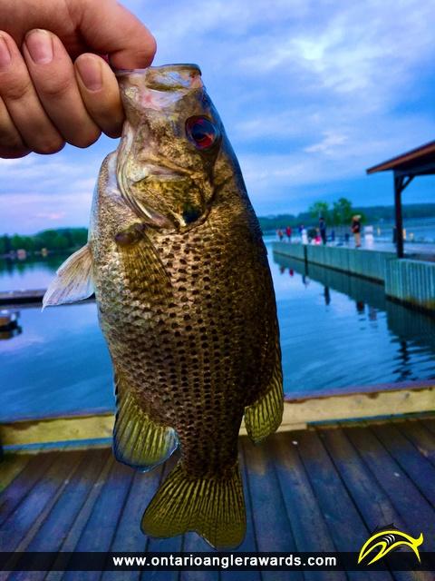 "10.5"" Rock Bass caught on Lake Nipissing"