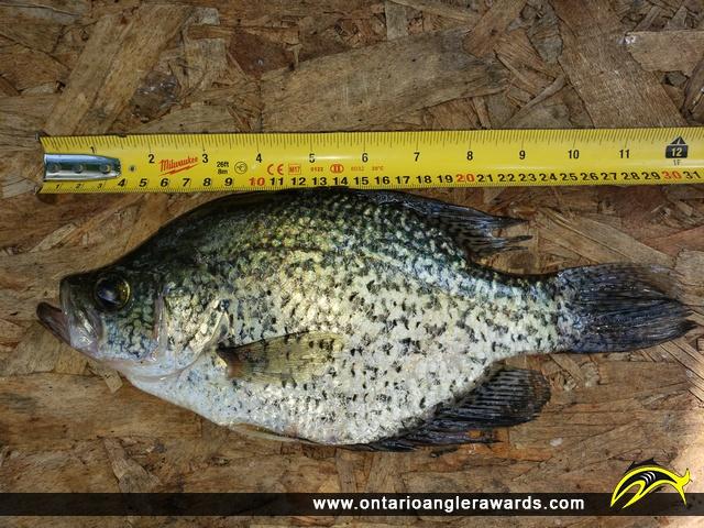 """12"""" Black Crappie caught on Ottawa River"""