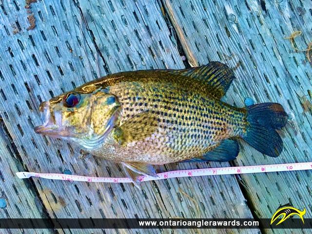 "10"" Rock Bass caught on Lake Nipissing"