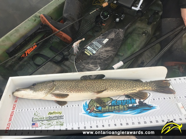 """30.75"""" Northern Pike caught on Pleasant Bay"""