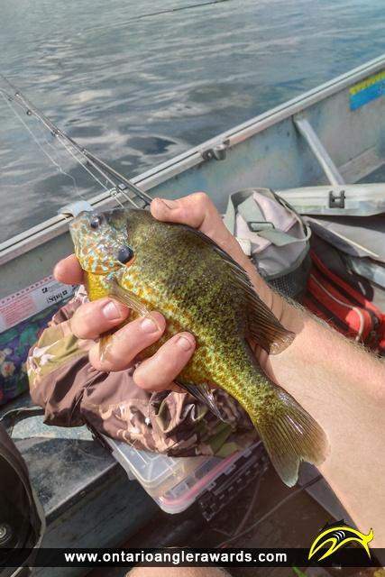 """10"""" Pumpkinseed caught on Big Rideau Lake"""