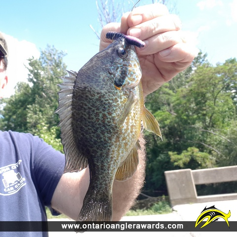 "10.5"" Pumpkinseed caught on Mountsberg Creek"
