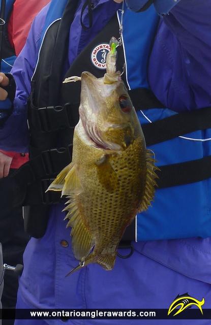 "10"" Rock Bass caught on Rice Lake"