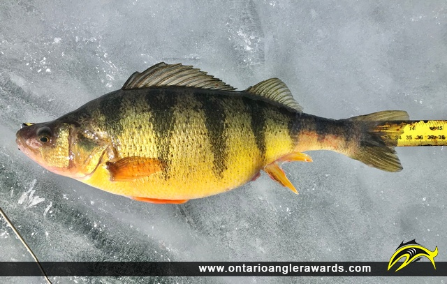 "13.75"" Yellow Perch caught on Lake Simcoe"