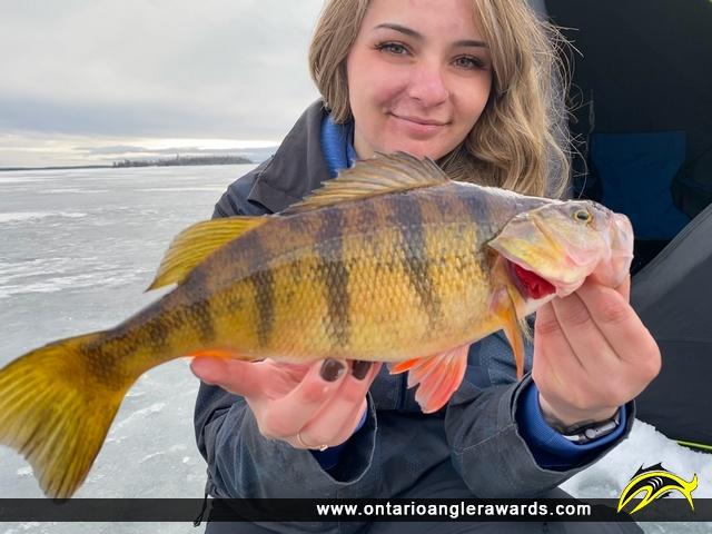 """13"""" Yellow Perch caught on Lake of the Woods"""