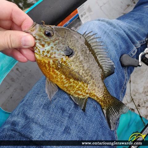 """9"""" Pumpkinseed caught on Pinehurst Lake"""