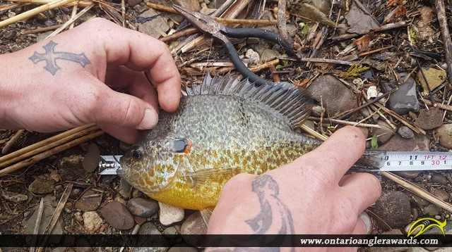 """9"""" Pumpkinseed caught on Campbellville Pond"""