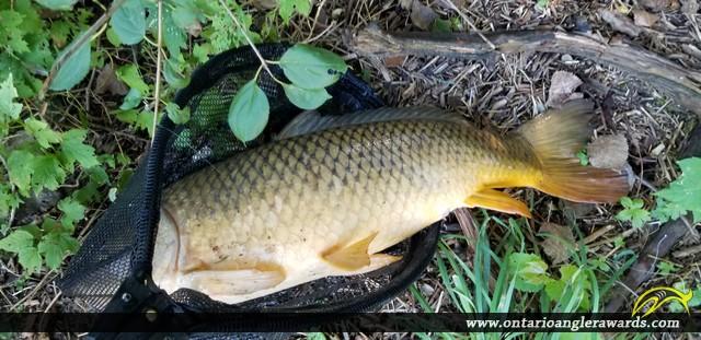 "33"" Carp caught on Thames River"