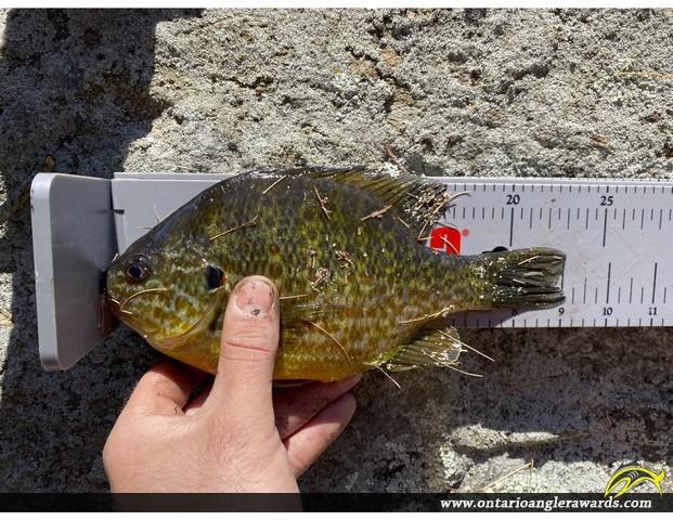 "9"" Pumpkinseed caught on Christie Lake"