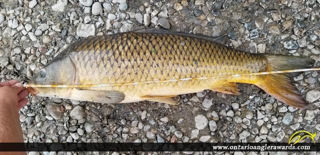 "31"" Carp caught on Thames River"