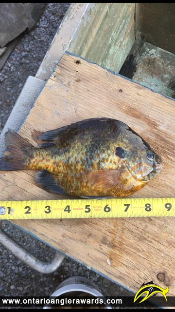 """9"""" Pumpkinseed caught on Rondeau Bay"""