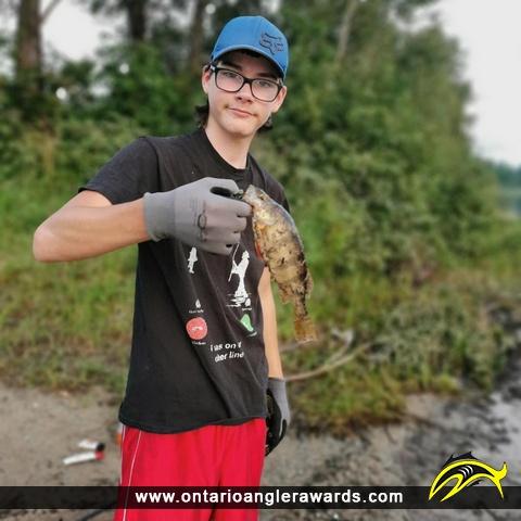 "12"" Yellow Perch caught on Mattagami River"