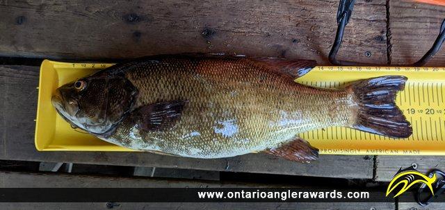 """19"""" Smallmouth Bass caught on Lake Muskoka"""