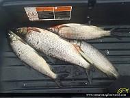 """25"""" Whitefish caught on Lake of Bays"""