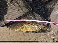 "31.5"" Carp caught on Hamilton Harbour"