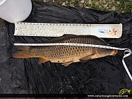 "32"" Carp caught on Shadow Lake"
