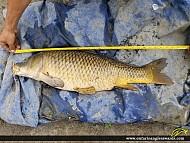 "30"" Carp caught on Nation River"