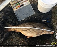 "37"" Carp caught on Shadow Lake"