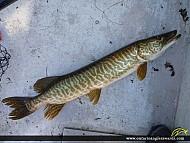 "36"" Muskie caught on Rice Lake"