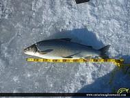"27"" Whitefish caught on Lake Superior"