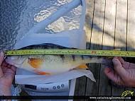 "15"" Yellow Perch caught on Lake Huron"