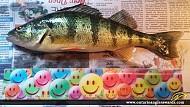 "12.3"" Yellow Perch caught on Lake Simcoe"
