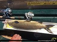 """24"""" Whitefish caught on Wawang Lake"""