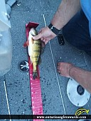 "13"" Yellow Perch caught on Lake of the Woods"