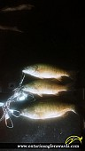 """1700"""" Smallmouth Bass caught on Pike Bay"""
