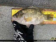 "10.5"" Rock Bass caught on Lake of the Woods"