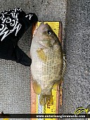 "10"" Rock Bass caught on Lake of the Woods"
