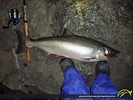 "36"" Chinook Salmon caught on Lake Ontario"