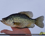 "11.00"" Black Crappie caught on Magnettawan River"