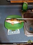"12.6"" Yellow Perch caught on Bright Lake"