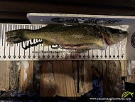 """27"""" Walleye caught on Scotty Lake"""