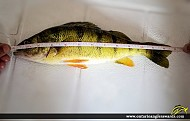 """13"""" Yellow Perch caught on Island Lake Conservation Area"""
