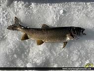 """32"""" Lake Trout caught on Lake Muskoka"""