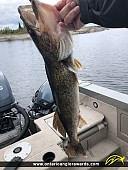 """29"""" Walleye caught on Lac Seul"""
