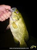"12.5"" Rock Bass caught on Lake Nipissing"