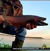 "26"" Rainbow Trout caught on Lake Huron"