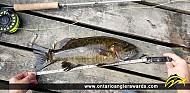 "17.5"" Smallmouth Bass caught on Eva Lake"