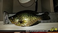 """12"""" Black Crappie caught on Sharbot Lake"""