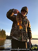 """14"""" Yellow Perch caught on Vermilion Lake"""