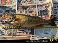 "28.0"" Walleye caught on Lake Ontario"