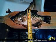 "13"" Black Crappie caught on Pickerel River"